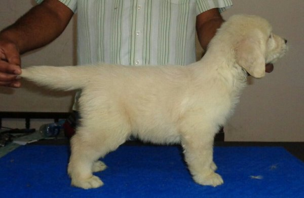 DogsIndia.com - Golden Retriever - Sivanandiny