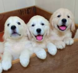 DogsIndia.com - Golden Retriever - Springfield Goldens