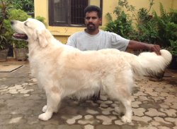 DogsIndia.com - Golden Retriever - Springfield Kennel
