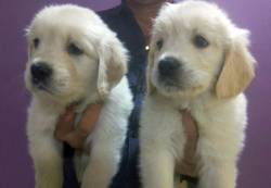 DogsIndia.com - Golden Retriever - Surendra