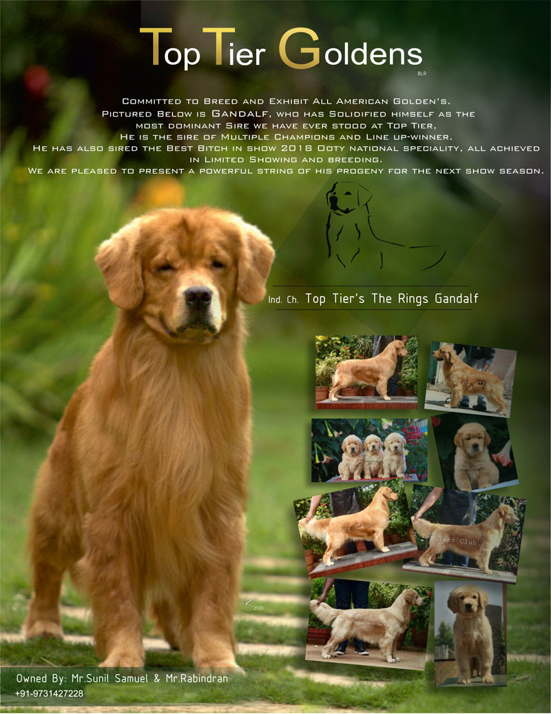 DogsIndia.com - Golden Retriever - Toptier Kennel