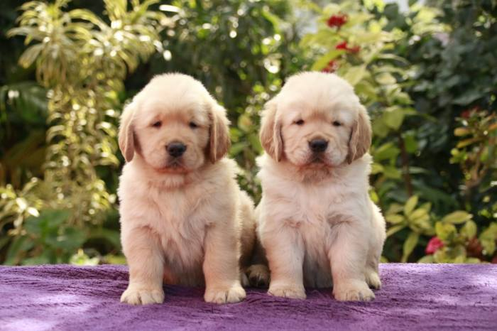 DogsIndia.com - Golden Retreiever - Toptier Kennel