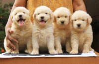 DogsIndia.com - Golden Retriever - Top Tier Kennels