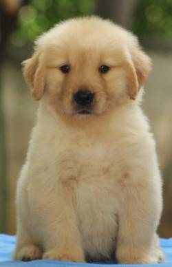 DogsIndia.com - Golden Retriever - Tuskerwood Kennels