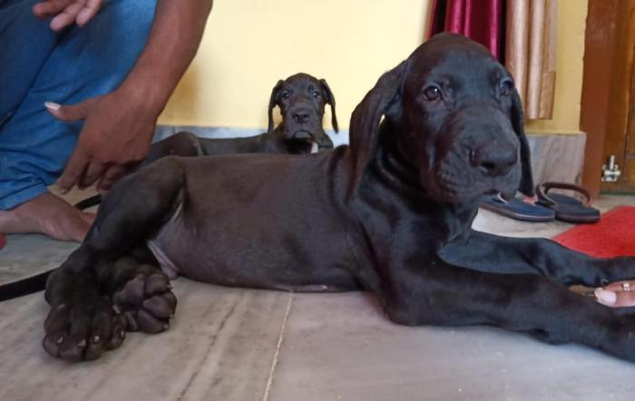 DogsIndia.com - Great Dane - Dr. Asutosh