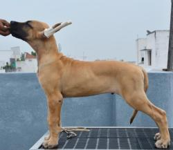 DogsIndia.com - Great Dane - Big Ben - Sharma Ramesh