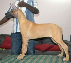 DogsIndia.com - Great Dane - Faithtrot Kennels - Dr. Andrew