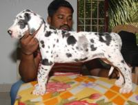 DogsIndia.com - Great Dane - Sasi Kennel