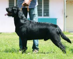DogsIndia.com - Grown-Up  - Labrador Retriever - Shivraj