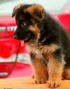 DogsIndia.com - German Shepherd Dog (GSD) - Apple Kennel
