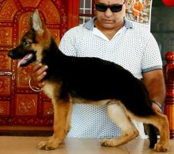 DogsIndia.com - GSD - Apple Kennel