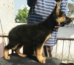 DogsIndia.com - German Shepherd Dog (GSD) - Deenjons Kennel