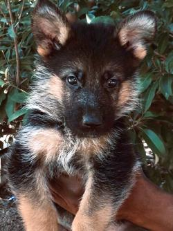DogsIndia.com - German Shepherd Dog (GSD) - Hari