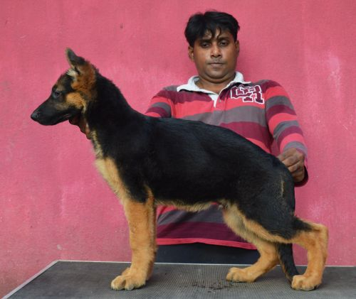 DogsIndia.com - German Shepherd Dog