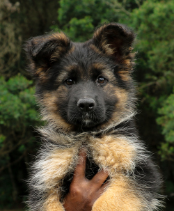 DogsIndia.com - German Shepherd Dog - Siva