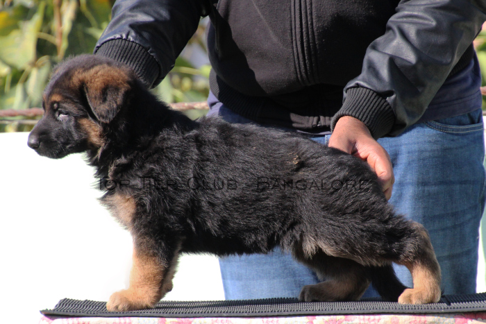 DogsIndia.com - GSD - Top Tier Kennel