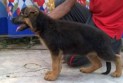 DogsIndia.com - GSD German Shepherd Dog - Urasland