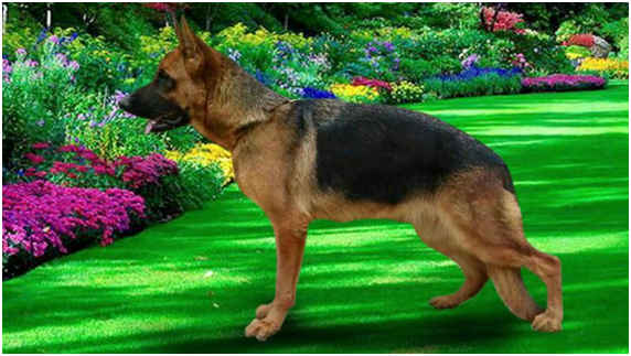 DogsIndia.com - German Shepherd Dog (GSD) - Urasland Kennel