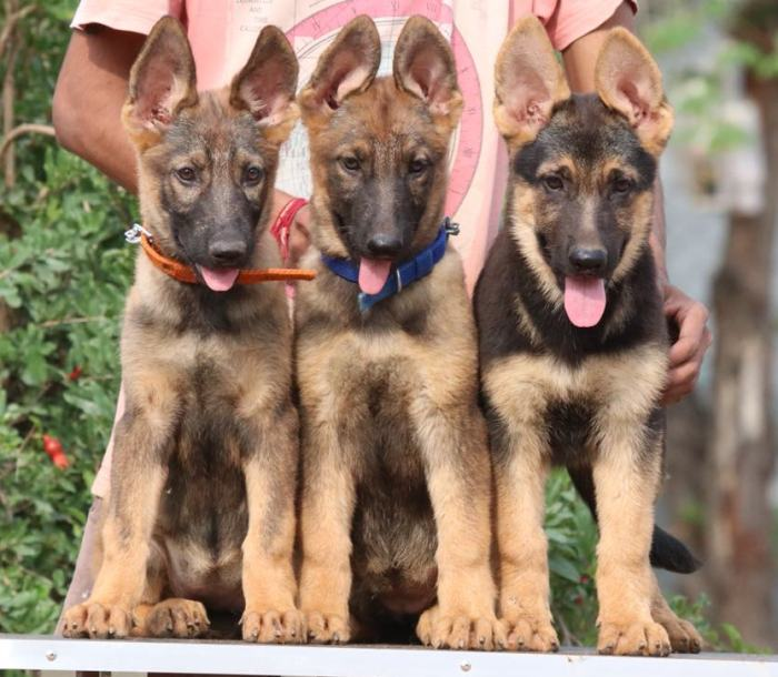 DogsIndia.com - Working GSDs - Meena Kennel