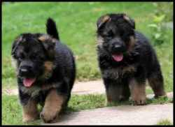 DogsIndia.com - German Shepherd Dog - Yoyo Kennels