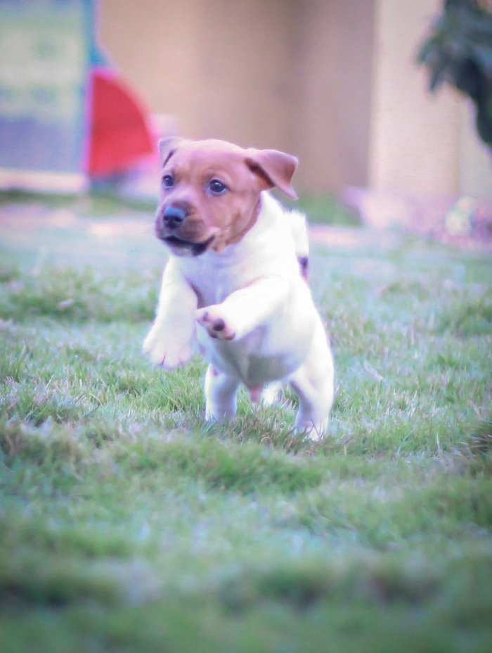 DogsIndia.com - Jack Russell Terrier - Dr. Narendra