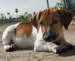 DogsIndia.com - Jack Russell Terrier - Redwolf Kennel