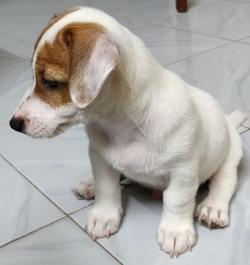 DogsIndia.com - Jack Russell Terrier - Sathya