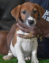 DogsIndia.com - Jack Russell Terrier - Shade's Russells
