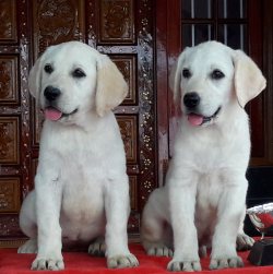 DogsIndia.com - Labrador Retriever - Apple Kennels