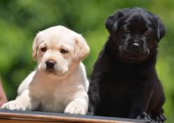 DogsIndia.com - Labrador Retriever - Bessies Kennel