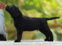 DogsIndia.com - Labrador Retriever - Neo Knight Kennels