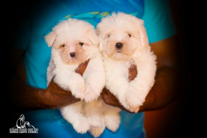 DogsIndia.com - Maltese - Candle Lights Kennel