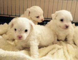 DogsIndia.com - Maltese - Sanrams Kennel