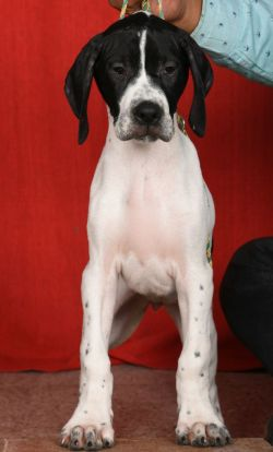 DogsIndia.com - English Pointer - Visces Kennel