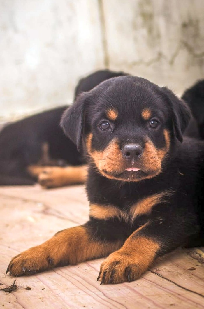 DogsIndia.com - Rottweiler - Magic Wolves - Brijesh