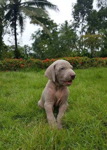 Dogs India - Weimaraner Puppies